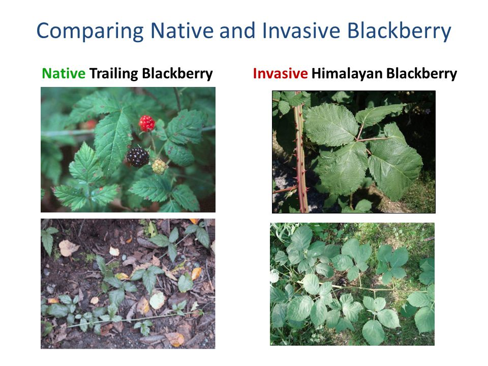 Comparing Native and Invasive Blackberry Native Trailing BlackberryInvasive Himalayan Blackberry