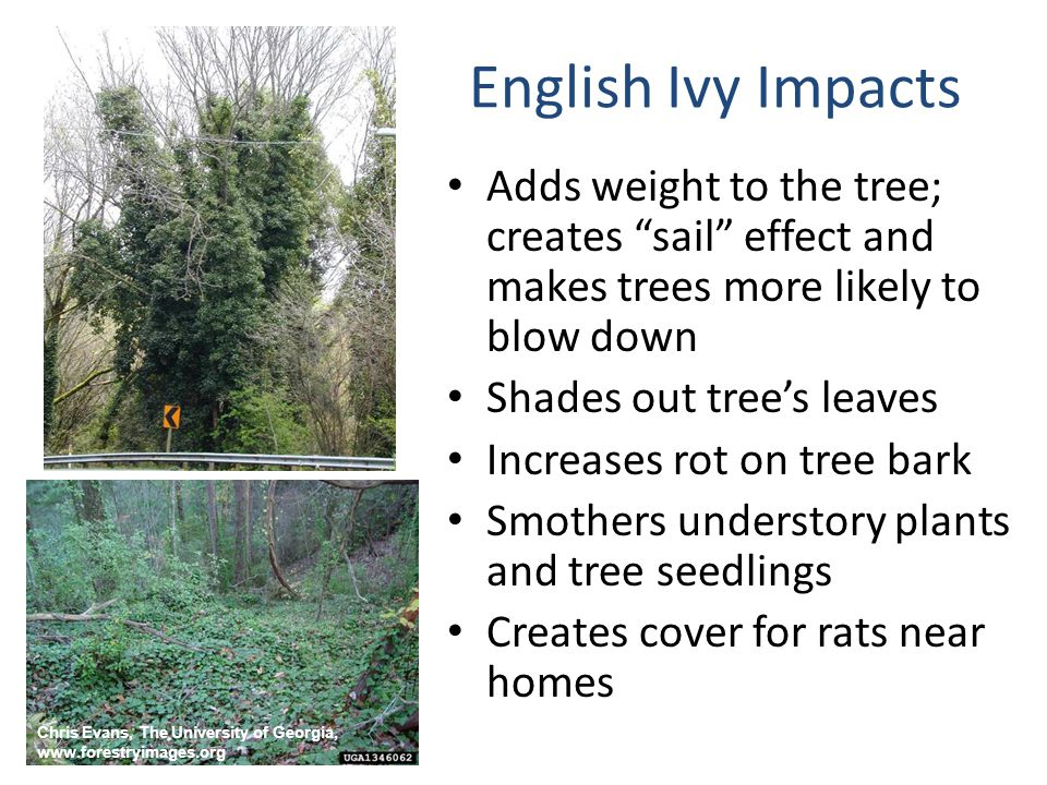 "English Ivy Impacts Adds weight to the tree; creates ""sail"" effect and makes trees more likely to blow down Shades out tree's leaves Increases rot on"