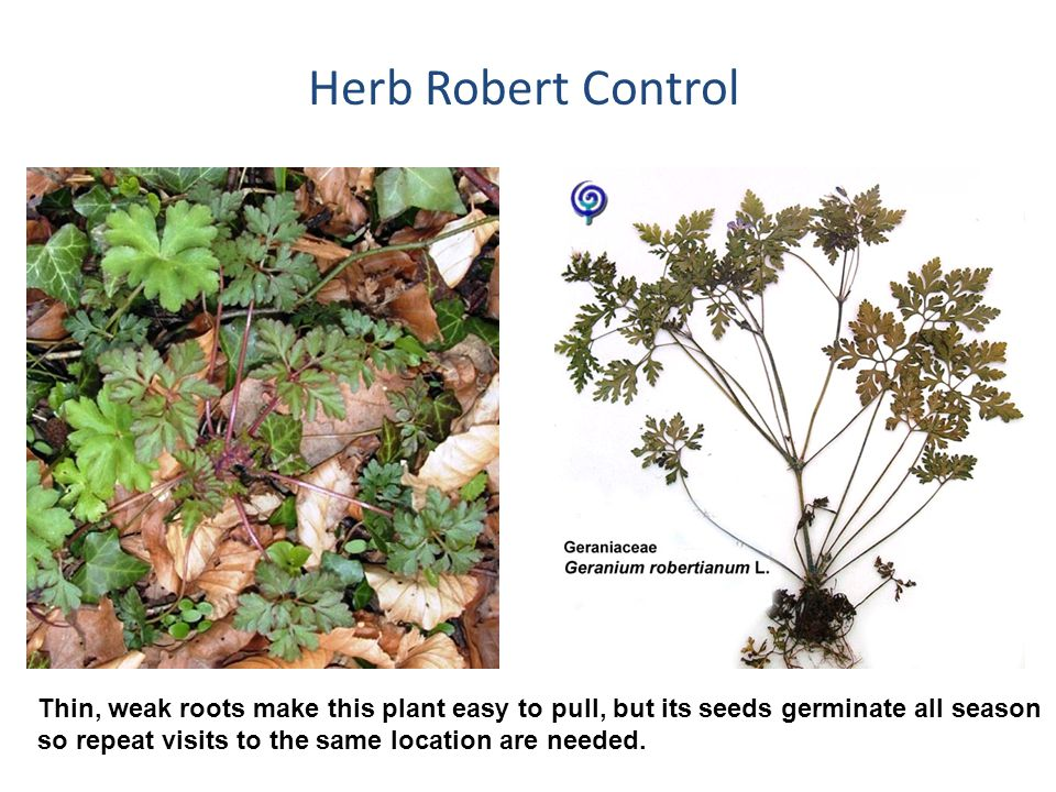 Herb Robert Control Thin, weak roots make this plant easy to pull, but its seeds germinate all season so repeat visits to the same location are needed