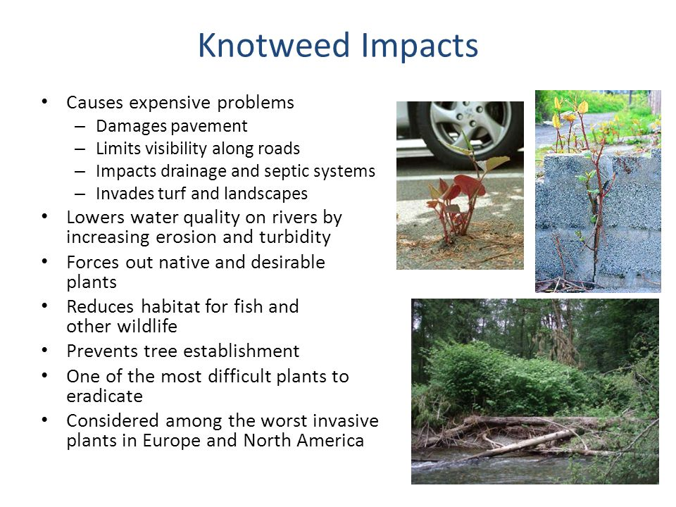 Knotweed Impacts Causes expensive problems – Damages pavement – Limits visibility along roads – Impacts drainage and septic systems – Invades turf and