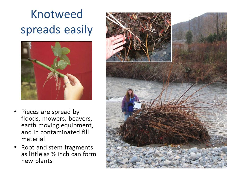 Knotweed spreads easily Pieces are spread by floods, mowers, beavers, earth moving equipment, and in contaminated fill material Root and stem fragment
