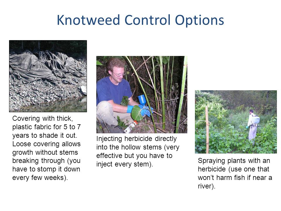 Knotweed Control Options Injecting herbicide directly into the hollow stems (very effective but you have to inject every stem). Covering with thick, p