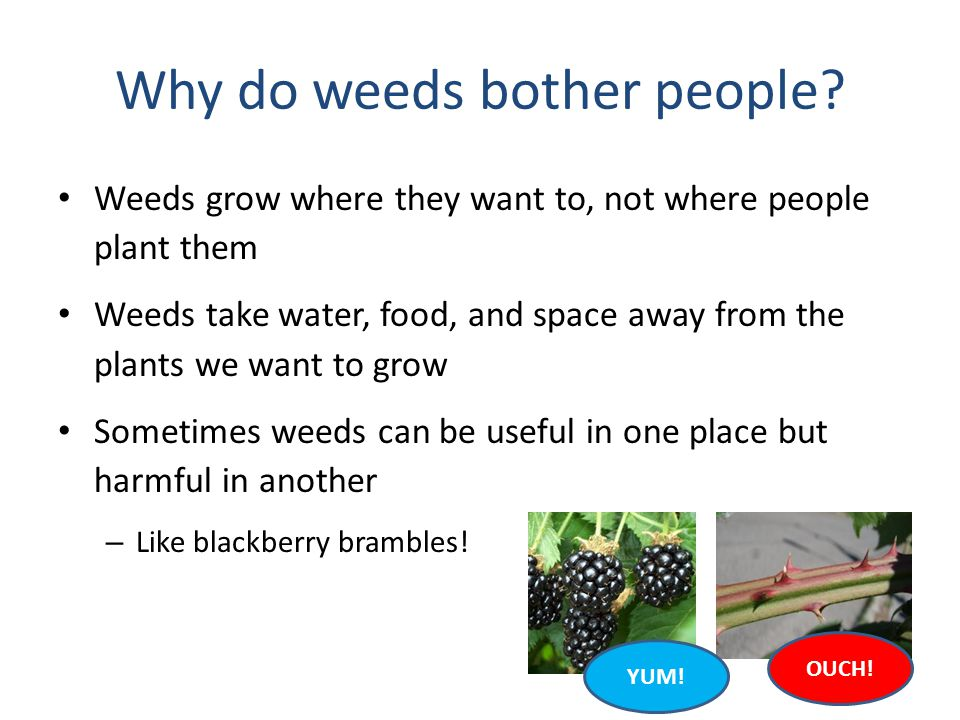 Why do weeds bother people? Weeds grow where they want to, not where people plant them Weeds take water, food, and space away from the plants we want