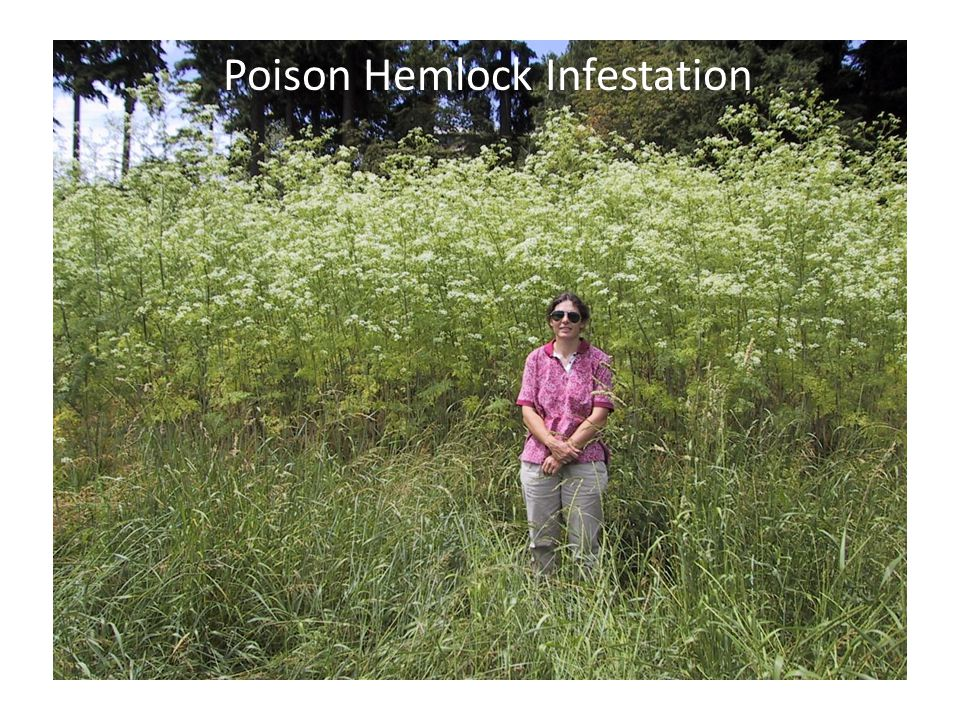 Poison Hemlock Infestation