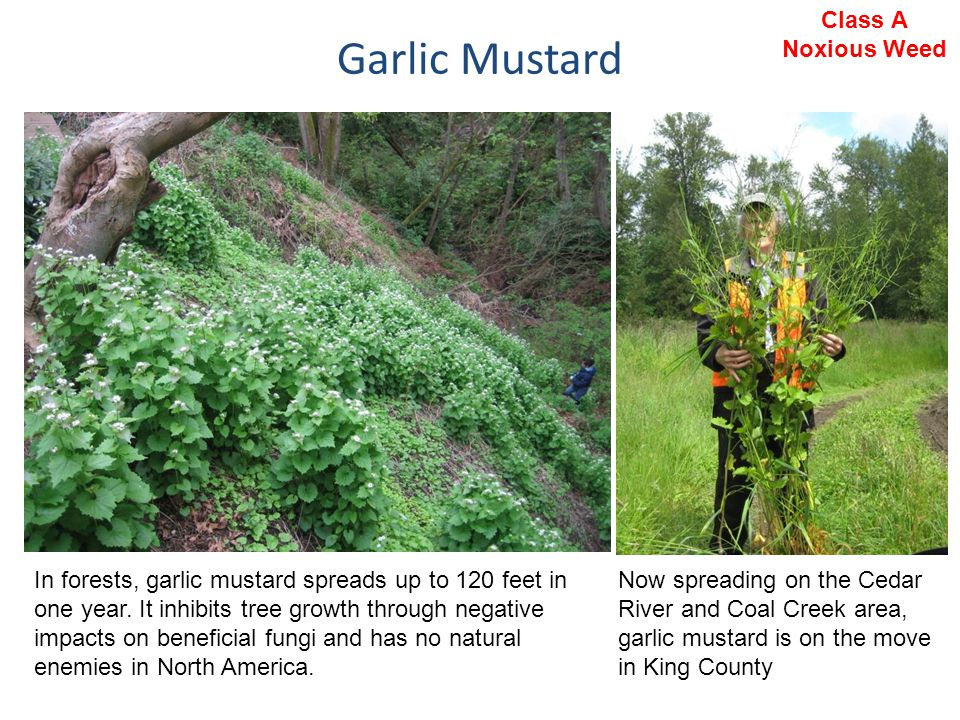 Garlic Mustard In forests, garlic mustard spreads up to 120 feet in one year. It inhibits tree growth through negative impacts on beneficial fungi and