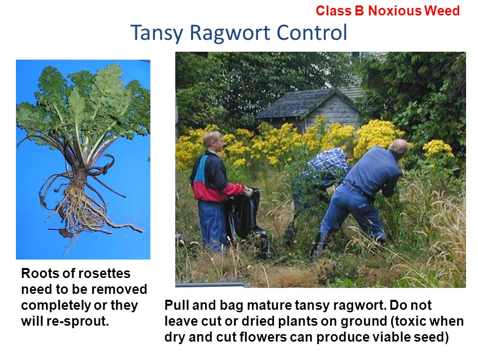 Tansy Ragwort Control Pull and bag mature tansy ragwort. Do not leave cut or dried plants on ground (toxic when dry and cut flowers can produce viable