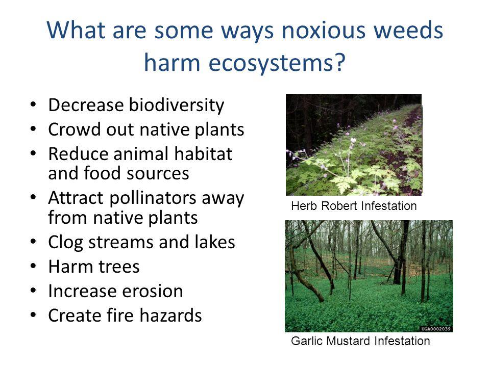 Tansy Ragwort (Senecio jacobaea) Class B Noxious Weed