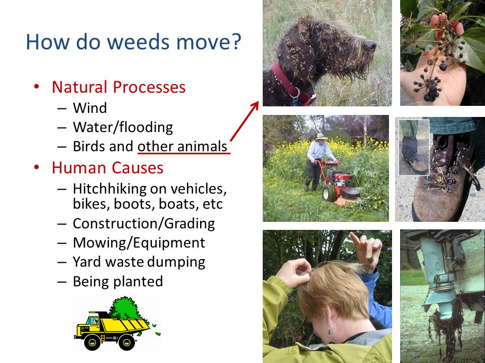 How do weeds move? Natural Processes – Wind – Water/flooding – Birds and other animals Human Causes – Hitchhiking on vehicles, bikes, boots, boats, et