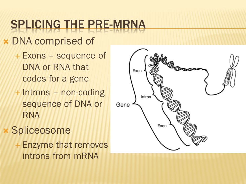  DNA comprised of  Exons – sequence of DNA or RNA that codes for a gene  Introns – non-coding sequence of DNA or RNA  Spliceosome  Enzyme that re