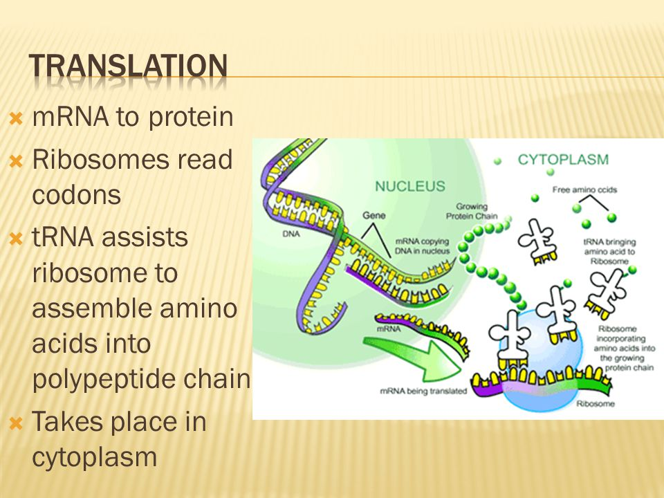  mRNA to protein  Ribosomes read codons  tRNA assists ribosome to assemble amino acids into polypeptide chain  Takes place in cytoplasm