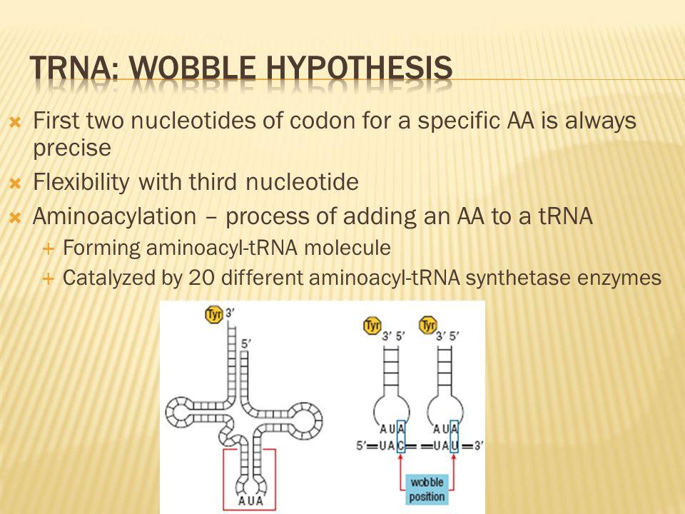  First two nucleotides of codon for a specific AA is always precise  Flexibility with third nucleotide  Aminoacylation – process of adding an AA to