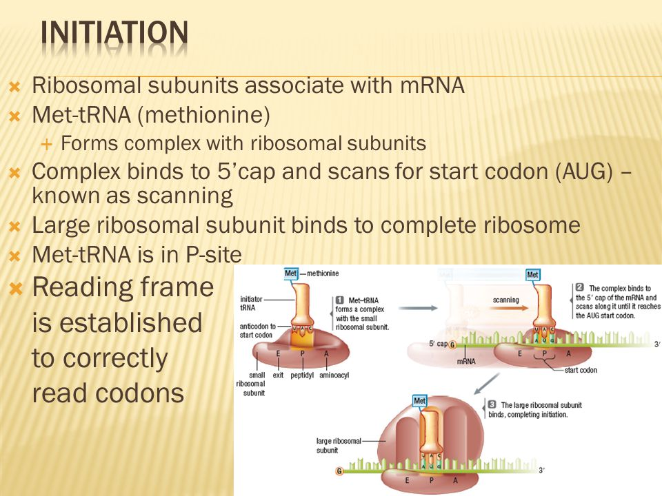  Ribosomal subunits associate with mRNA  Met-tRNA (methionine)  Forms complex with ribosomal subunits  Complex binds to 5'cap and scans for start