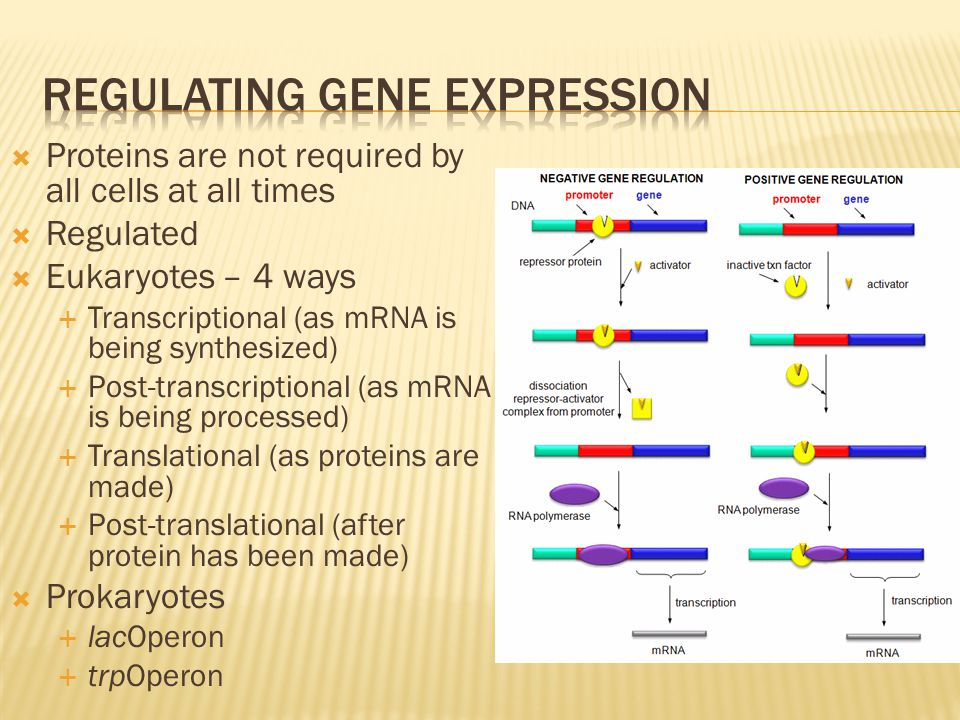  Proteins are not required by all cells at all times  Regulated  Eukaryotes – 4 ways  Transcriptional (as mRNA is being synthesized)  Post-transc
