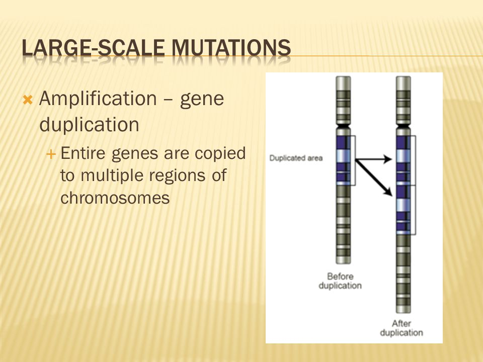  Amplification – gene duplication  Entire genes are copied to multiple regions of chromosomes