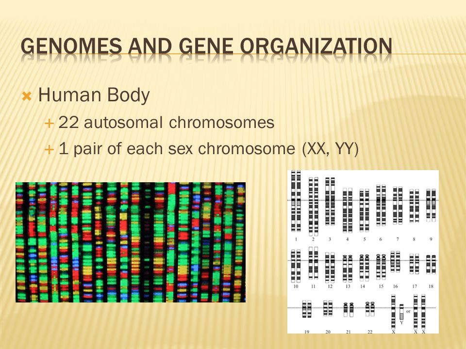  Human Body  22 autosomal chromosomes  1 pair of each sex chromosome (XX, YY)
