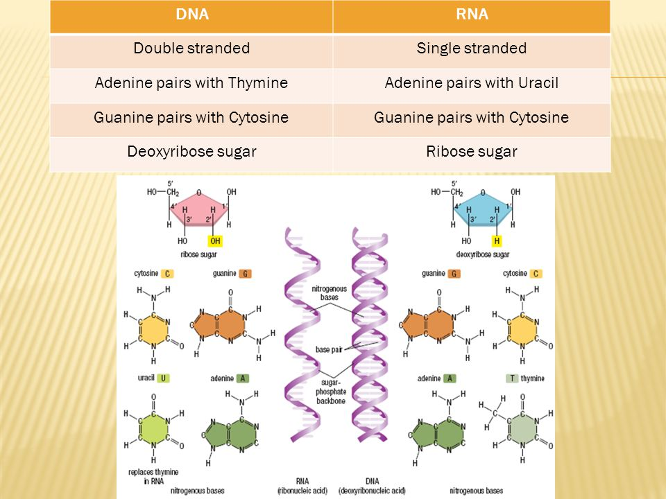 DNARNA Double strandedSingle stranded Adenine pairs with ThymineAdenine pairs with Uracil Guanine pairs with Cytosine Deoxyribose sugarRibose sugar