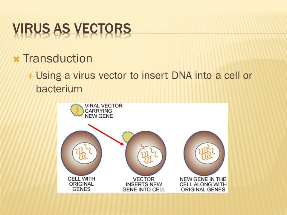  Transduction  Using a virus vector to insert DNA into a cell or bacterium
