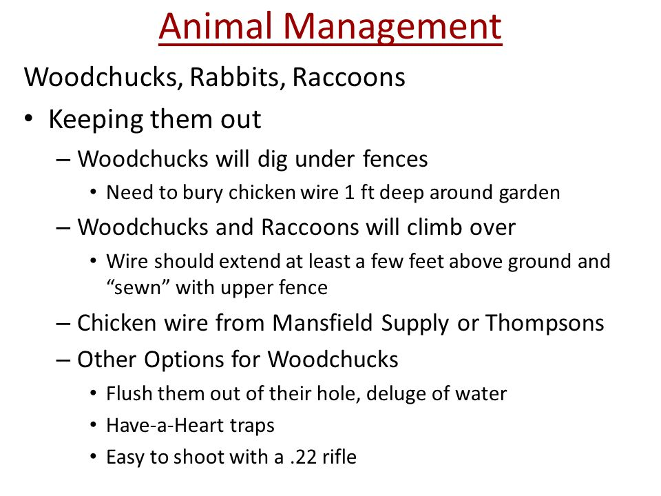 Animal Management Woodchucks, Rabbits, Raccoons Keeping them out – Woodchucks will dig under fences Need to bury chicken wire 1 ft deep around garden – Woodchucks and Raccoons will climb over Wire should extend at least a few feet above ground and sewn with upper fence – Chicken wire from Mansfield Supply or Thompsons – Other Options for Woodchucks Flush them out of their hole, deluge of water Have-a-Heart traps Easy to shoot with a.22 rifle