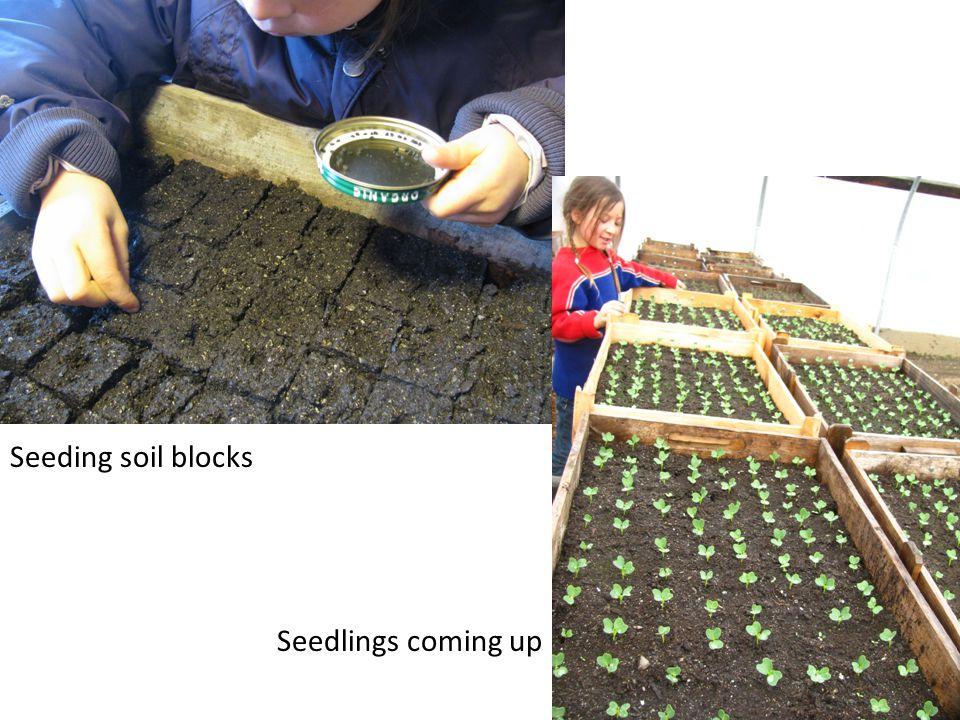 Seeding soil blocks Seedlings coming up