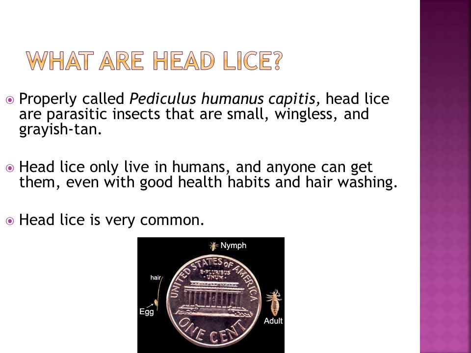  Properly called Pediculus humanus capitis, head lice are parasitic insects that are small, wingless, and grayish-tan.