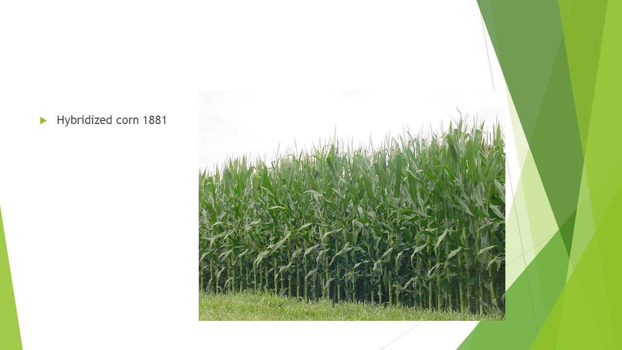  Hybridized corn 1881