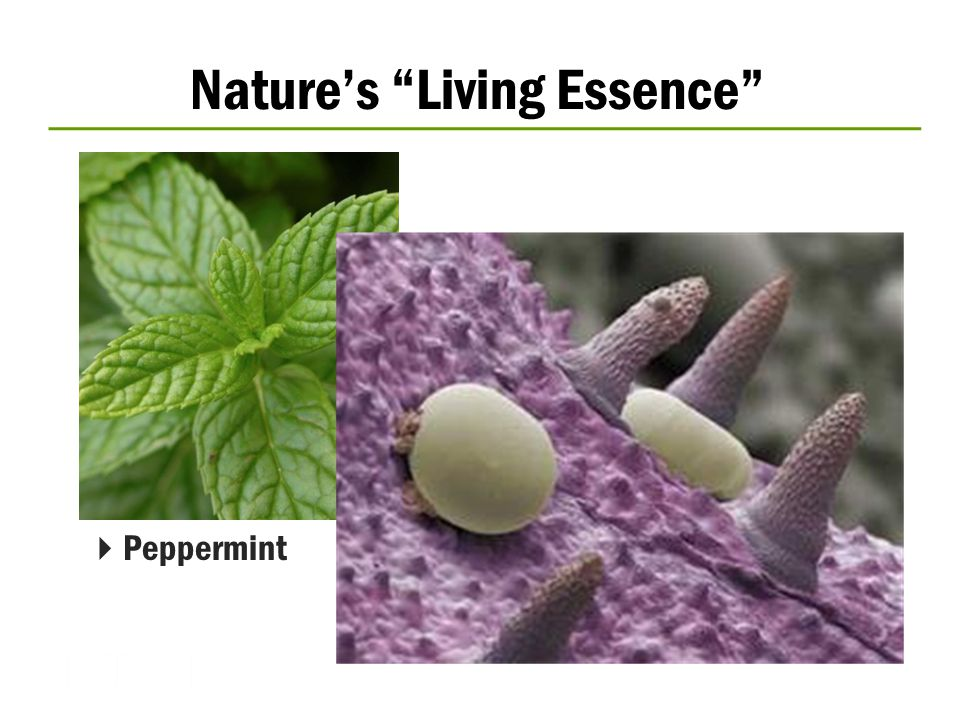  Peppermint Nature's Living Essence