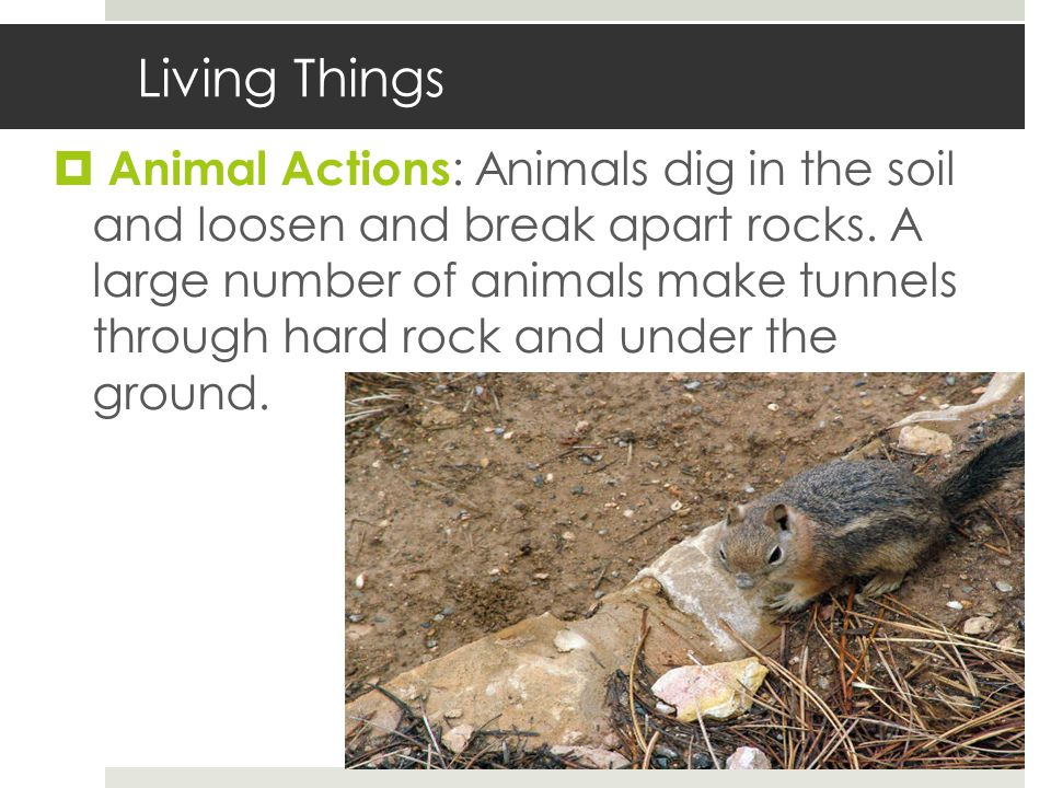 Living Things  Animal Actions : Animals dig in the soil and loosen and break apart rocks.