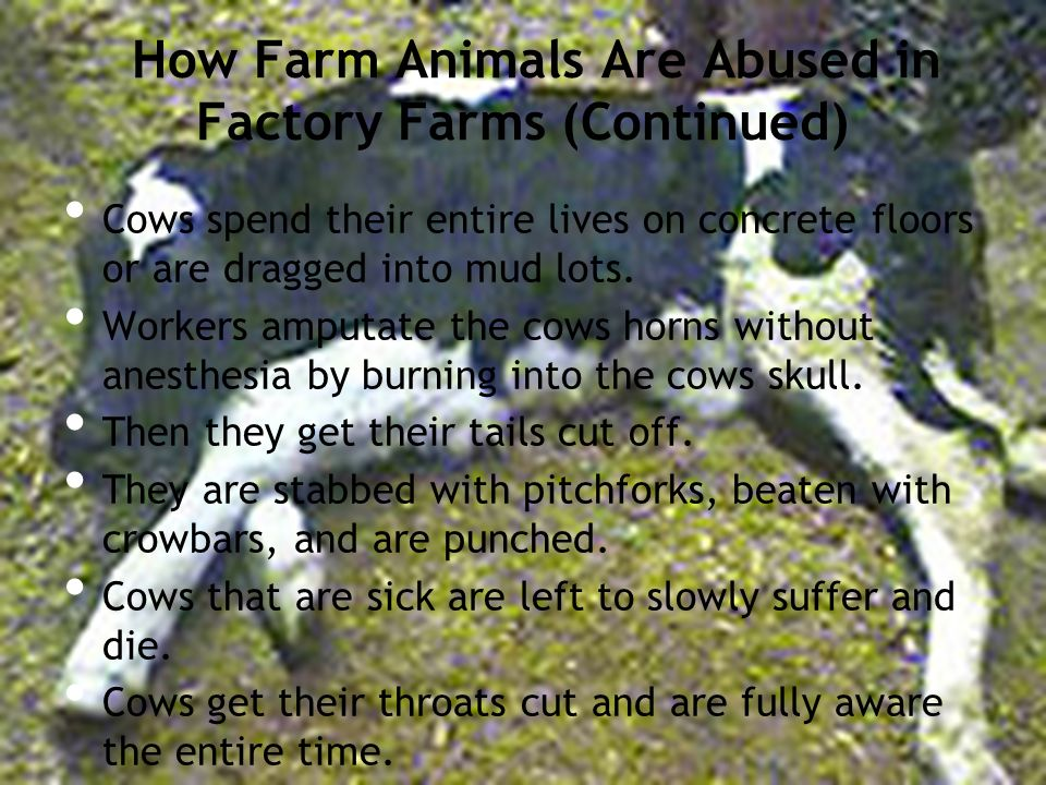 How Farm Animals Are Abused in Factory Farms (Continued) Cows spend their entire lives on concrete floors or are dragged into mud lots.