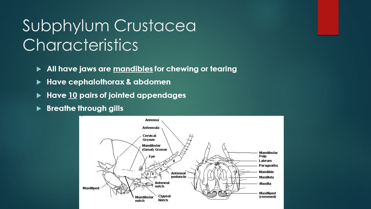 Subphylum Crustacea Characteristics  All have jaws are mandibles for chewing or tearing  Have cephalothorax & abdomen  Have 10 pairs of jointed app