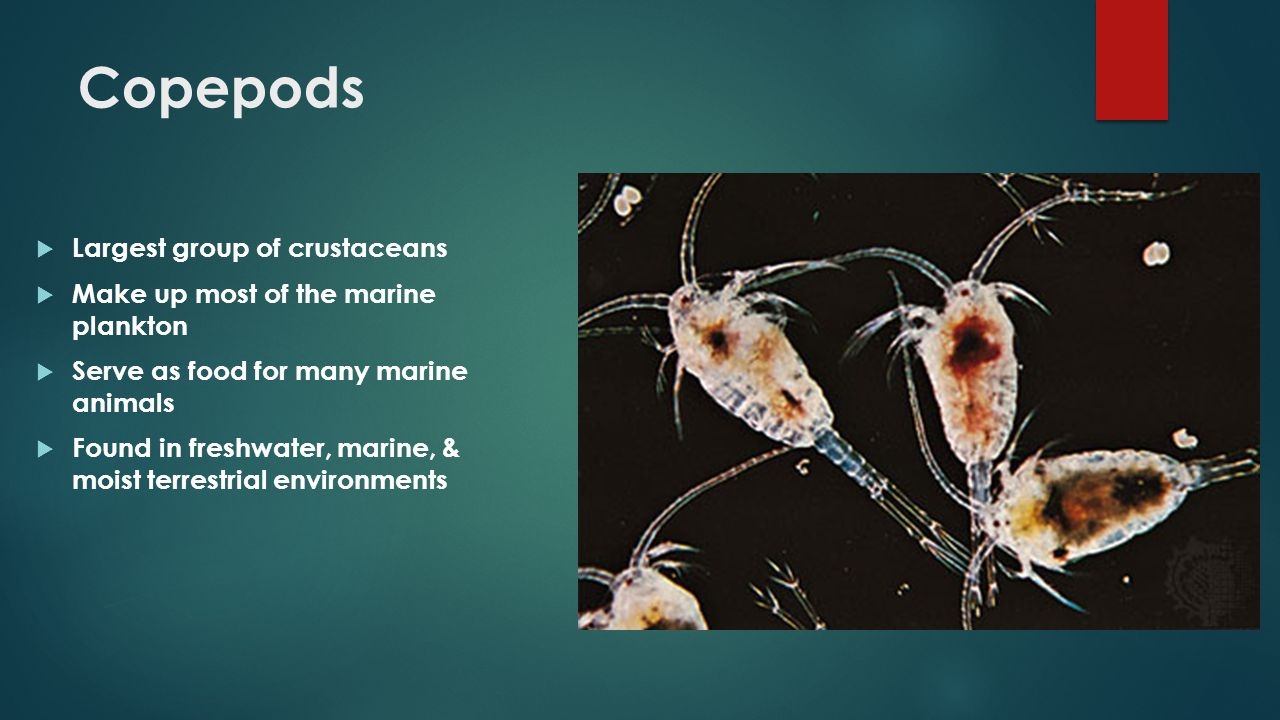 Copepods  Largest group of crustaceans  Make up most of the marine plankton  Serve as food for many marine animals  Found in freshwater, marine, &