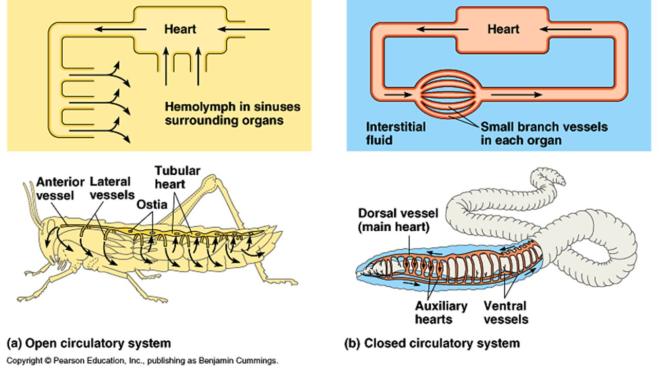 Characteristics  Specialized sensory receptors & high degree of cephalization  Have simple or compound eyes & segmented antenna