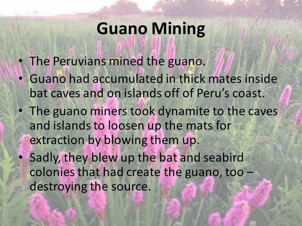 Guano Mining The Peruvians mined the guano.