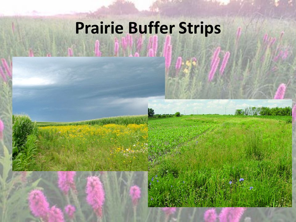 Prairie Buffer Strips