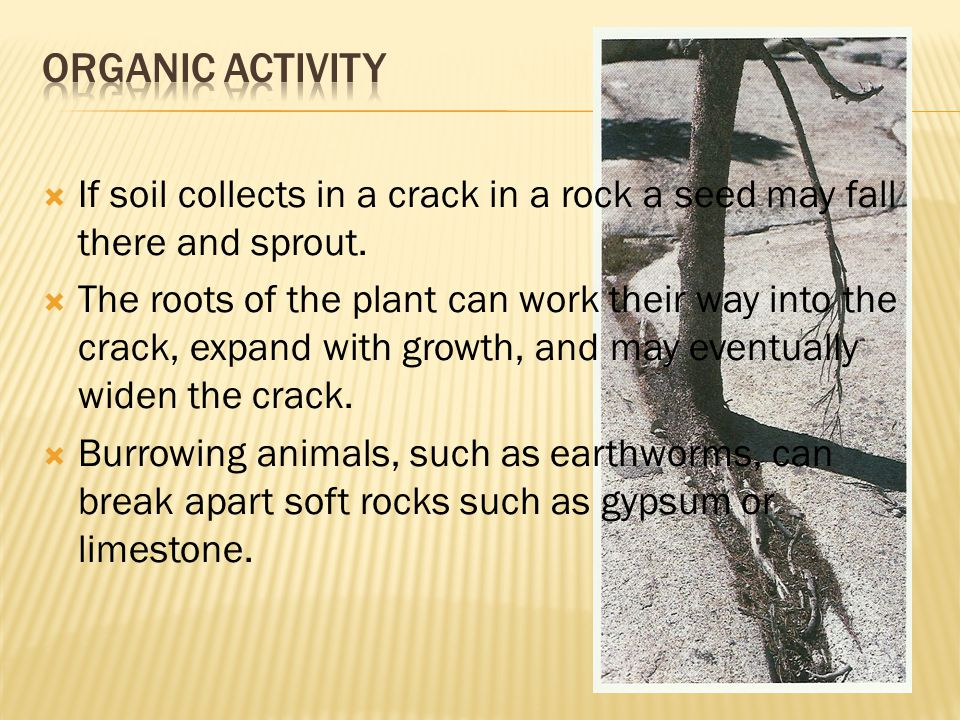  If soil collects in a crack in a rock a seed may fall there and sprout.