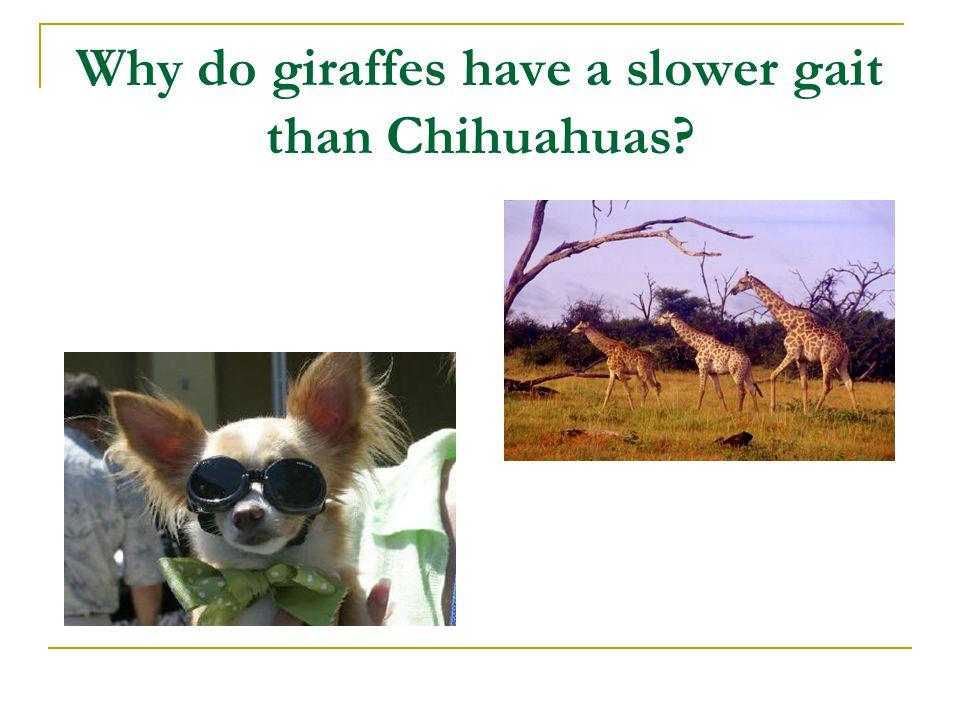 Why do giraffes have a slower gait than Chihuahuas?