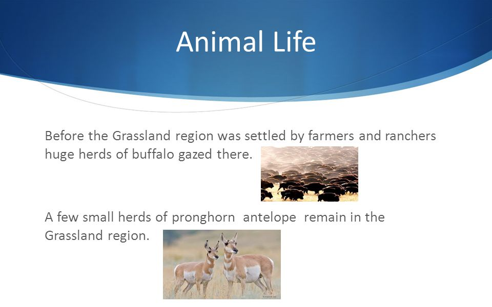 Animal Life Before the Grassland region was settled by farmers and ranchers huge herds of buffalo gazed there.
