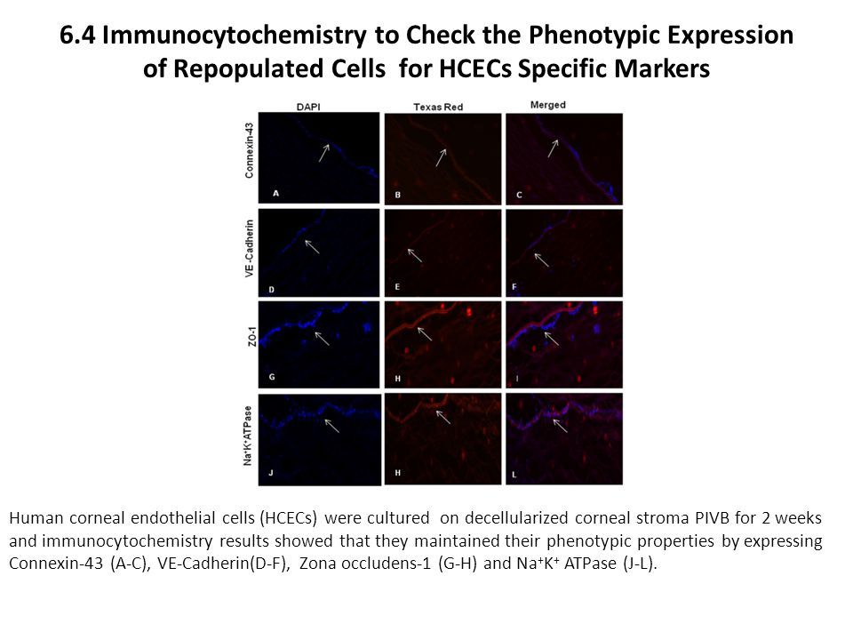 6.4 Immunocytochemistry to Check the Phenotypic Expression of Repopulated Cells for HCECs Specific Markers Human corneal endothelial cells (HCECs) wer