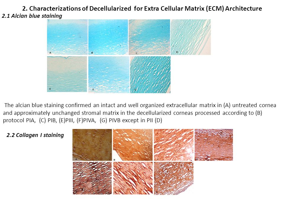 2. Characterizations of Decellularized for Extra Cellular Matrix (ECM) Architecture The alcian blue staining confirmed an intact and well organized ex