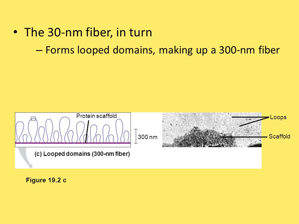 In a mitotic chromosome – The looped domains themselves coil and fold forming the characteristic metaphase chromosome Figure 19.2 d 700 nm 1,400 nm (d) Metaphase chromosome