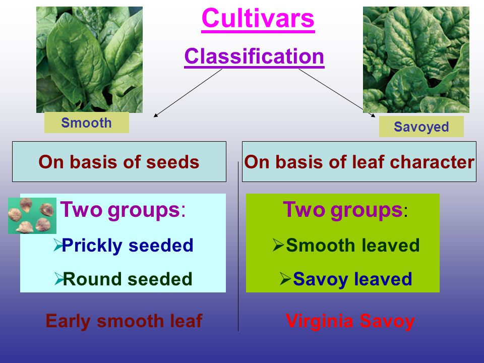 Cultivars Classification On basis of seedsOn basis of leaf character Two groups:  Prickly seeded  Round seeded Two groups :  Smooth leaved  Savoy
