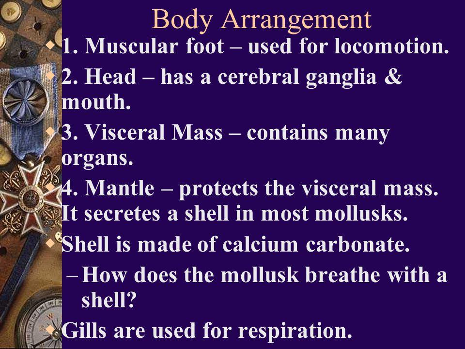 Mollusk Characteristics Most are filter feeders (100,000 + species).  True coelom  3 main body parts: muscular foot, head, & visceral mass.  Circul