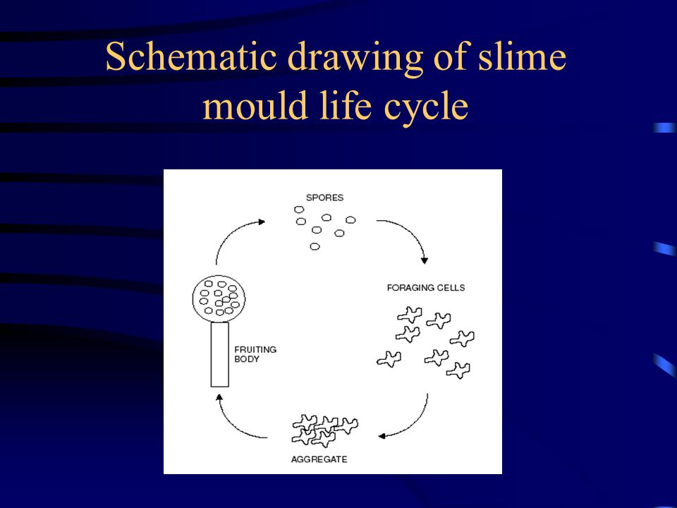 Schematic drawing of slime mould life cycle