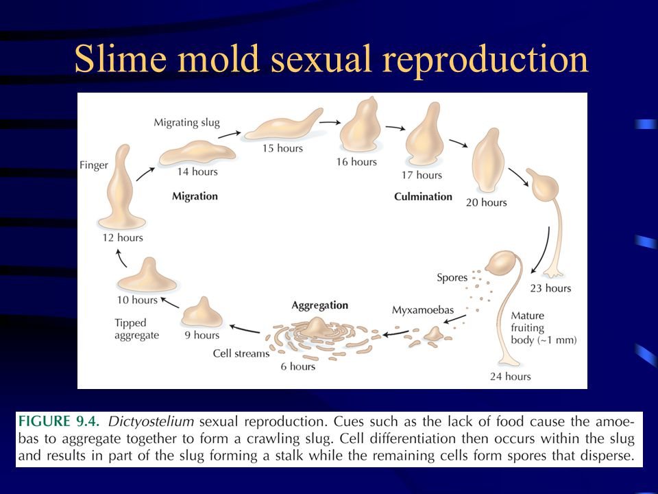 Slime mold sexual reproduction