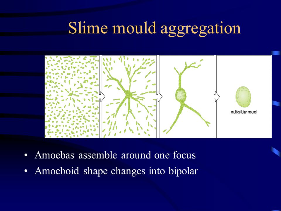 Slime mould aggregation Amoebas assemble around one focus Amoeboid shape changes into bipolar