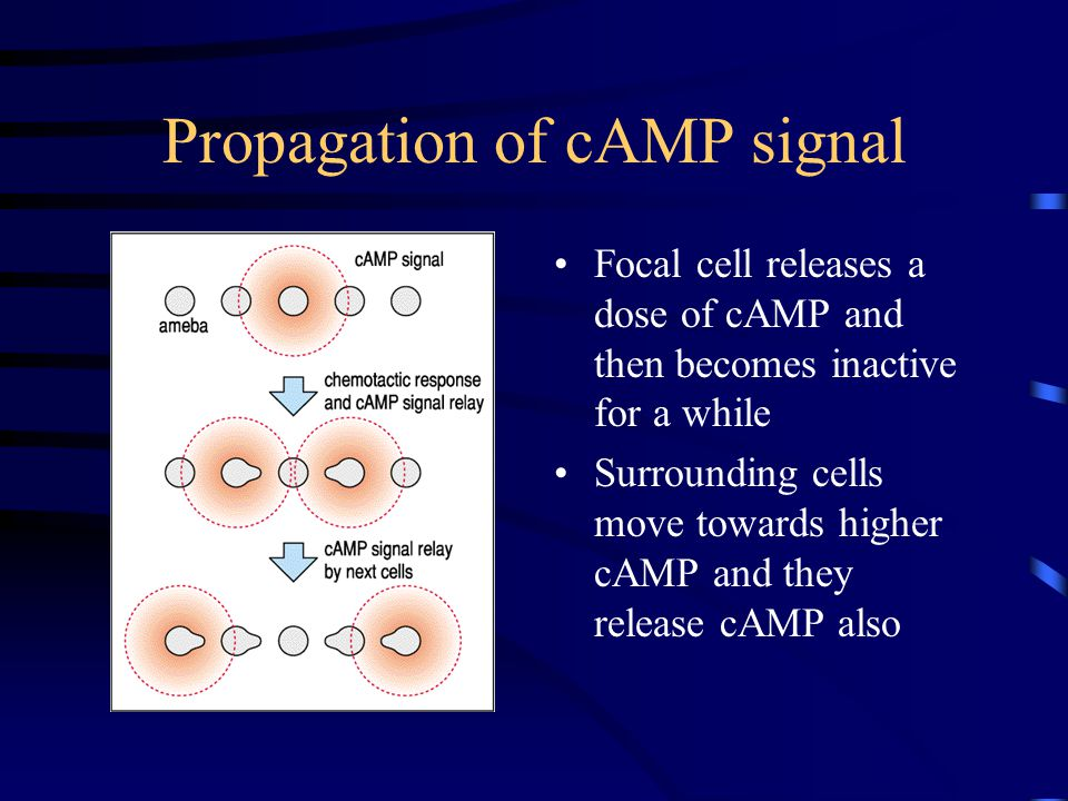 Propagation of cAMP signal Focal cell releases a dose of cAMP and then becomes inactive for a while Surrounding cells move towards higher cAMP and they release cAMP also