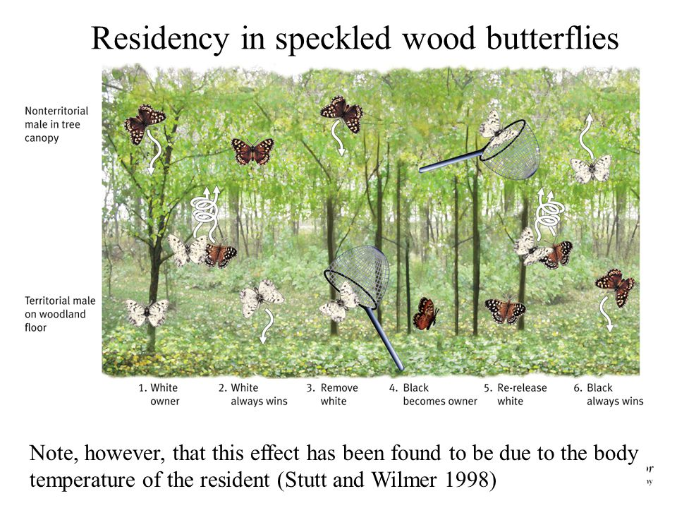 Residency in speckled wood butterflies Note, however, that this effect has been found to be due to the body temperature of the resident (Stutt and Wilmer 1998)