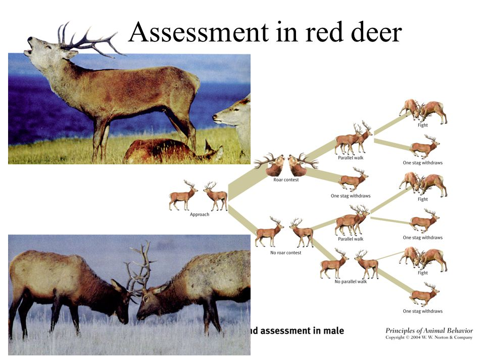 Assessment in red deer