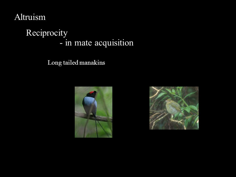 Altruism Reciprocity - in mate acquisition Long tailed manakins