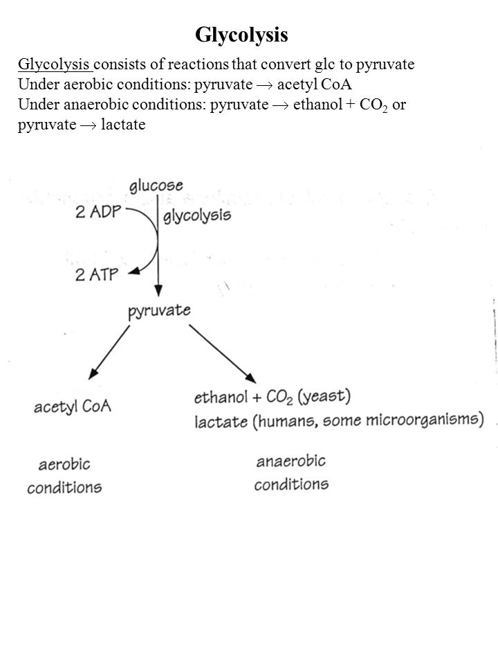 Glycolysis Glycolysis consists of reactions that convert glc to pyruvate Under aerobic conditions: pyruvate  acetyl CoA Under anaerobic conditions: p