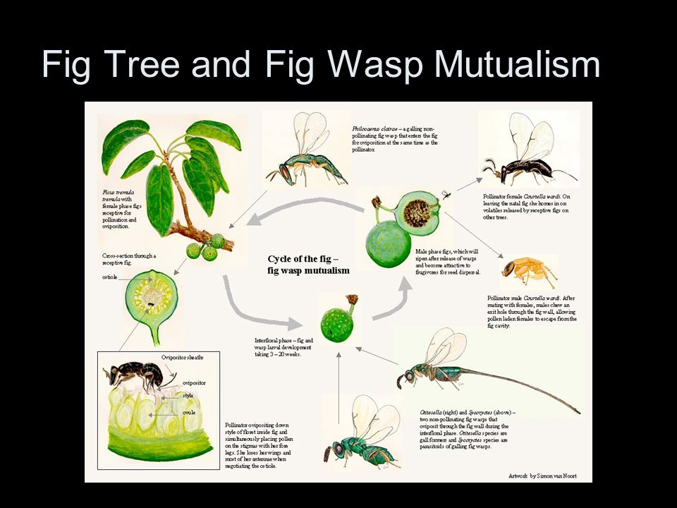 Fig Tree and Fig Wasp Mutualism